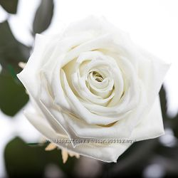 живая роза Белый бриллиант не вянет без воды до 5 лет в подарочной упаковке