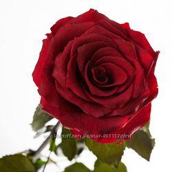 живая роза в подарочной упаковке Красный рубин без воды не вянет до 5 лет