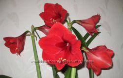 амариллис сорт Красный лев, луковицы, гиппеаструм