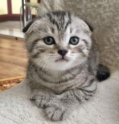 Шотландськие вислоухие котенки