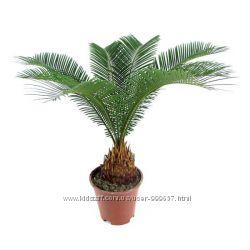 Семена пальмы ЦИКАС и инструкция