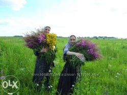 Сухие лечебные травы.