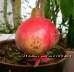 Гранат  плодоносящий