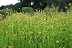 Цефалофора - земляничная трава.