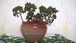 Подарок любимым - Дерево любви - эониум, аихризон