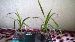 Цветок Панданус или винтовая пальма