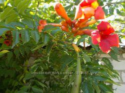 Цветущая лиана кампсис или текома