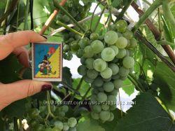 Виноград неукрывной Любава