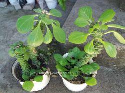 Монадениум РИЧИ. Редкостный суккулент Молодые растения