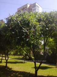 Сумах или уксусное дерево саженцы