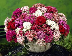 Гвоздика турецкая семена