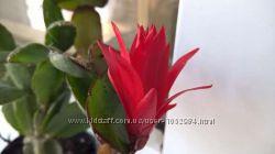 Рипсалидопсис темно-красный