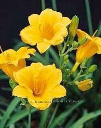 Желтый низкорослый лилейник