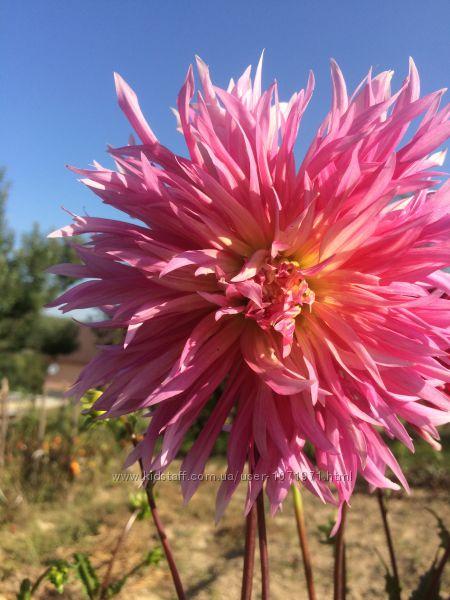 #7: Розовая ЛВР 40