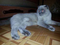 Вязка кота Scottish fold, color point