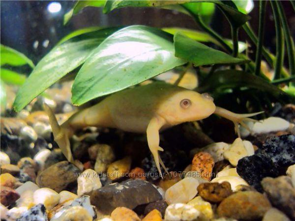 Желтые и серые лягушки для аквариума Доставка