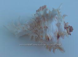 Ракушка большая Ветвистый мурекс