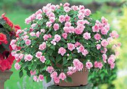 Сортовые махровые крупноцветковые бальзамины - 30 сортов
