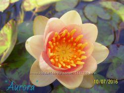 Нимфея - лилия водная Aurora