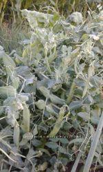 семена гороха овощного Изумрудный