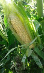 семена сладкой кукурузы Золотое руно