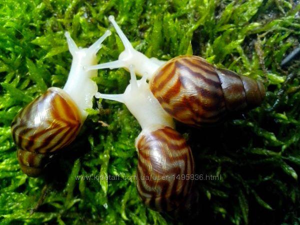 Улитка Ахатина ретикулята Альбино и Черноголовые, Achatina reticulata
