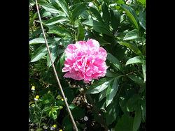 Пионы розовый белый малиновый красный