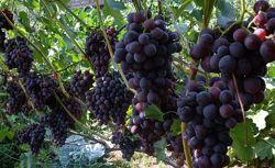 Натуральный 100 сок с винограда из Закарпатья, 1-3л