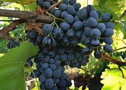 Соки натуральні з винограду, сливи, вишні і сухофрукти