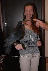 Самая преданная птица Ворон Крук, птенцы